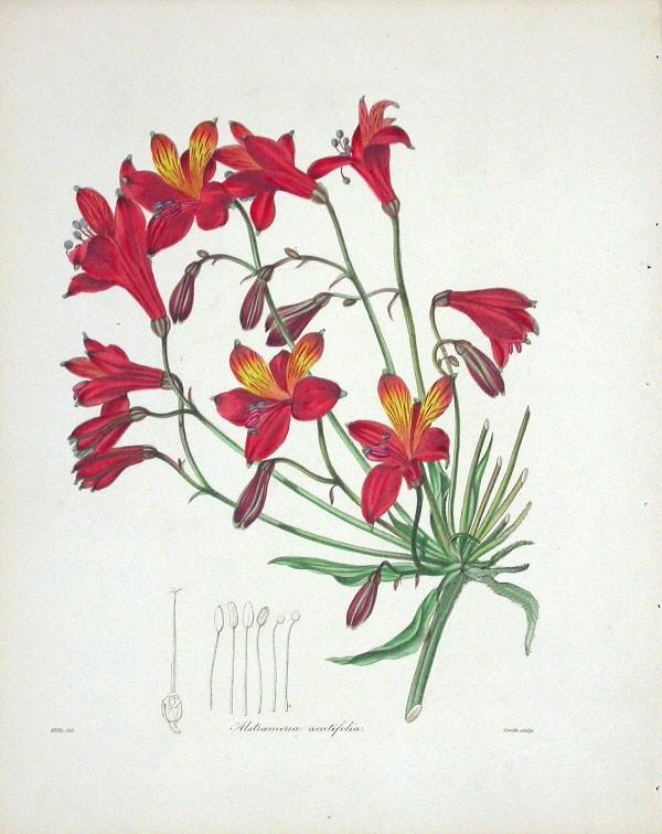 So sieht eine Bomarea aus / Bild: Mills (The Botanist), gemeinfrei